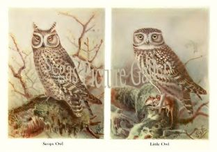 Scops Owl & Little Owl